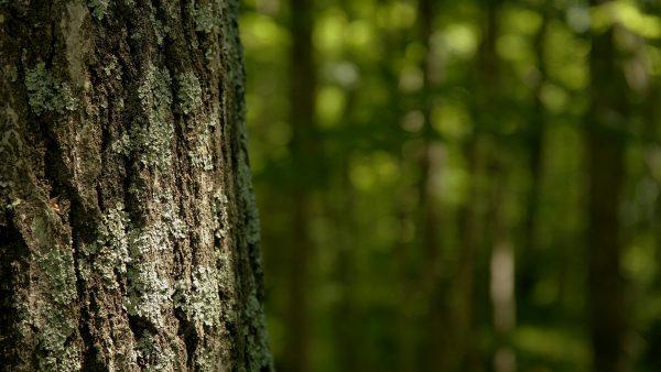 birch-bark-wallpaper-HD1-600x338