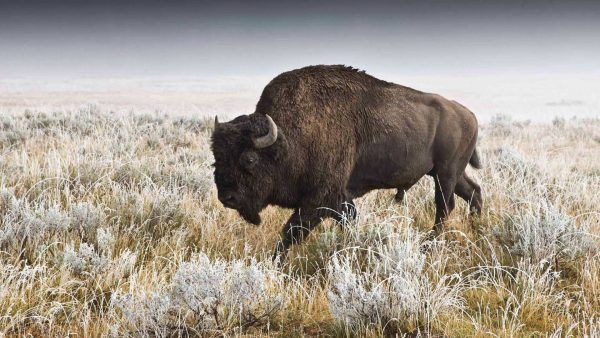 buffalo-wallpaper-HD1-600x338