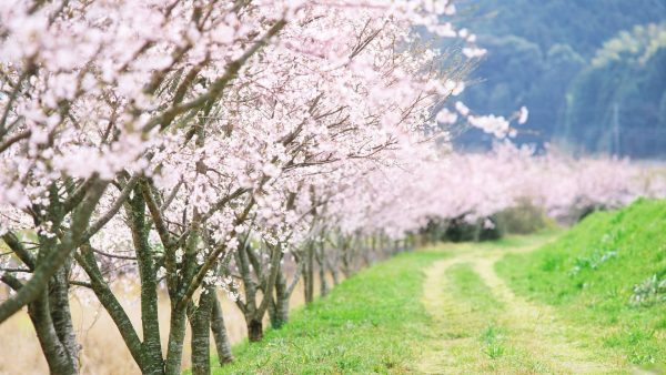 cherry-blossom-tree-wallpaper-HD10-600x338