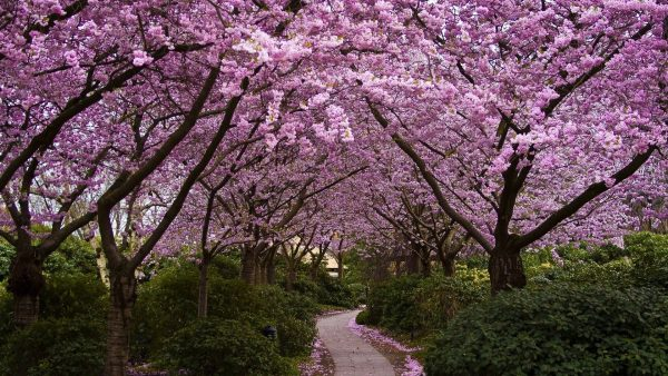 cherry-blossom-tree-wallpaper-HD2-600x338