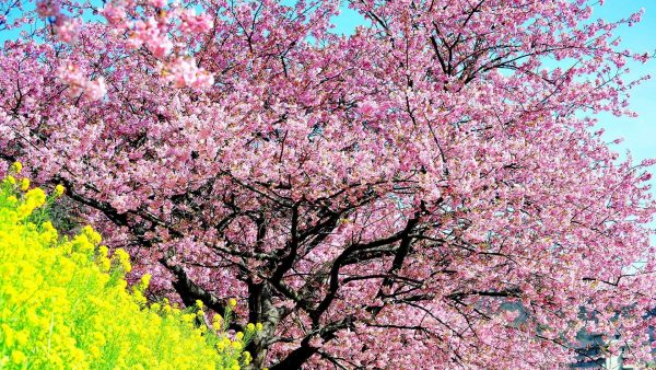 cherry-blossom-tree-wallpaper-HD3-600x338