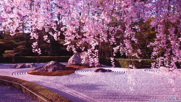 cherry-blossom-tree-wallpaper-HD4-600x338