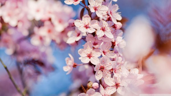 cherry-blossom-tree-wallpaper-HD9-600x338