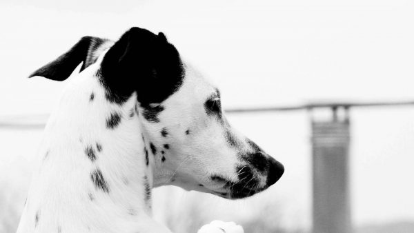 dalmatian-wallpaper-HD-600x338