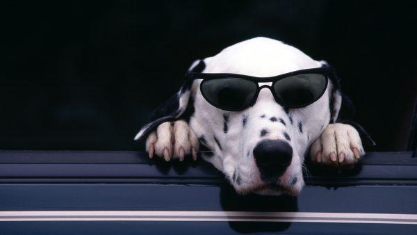 dalmatian-wallpaper-HD1-600x338