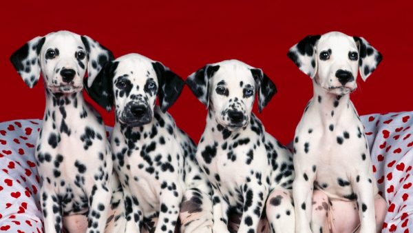 dalmatian-wallpaper-HD2-600x338
