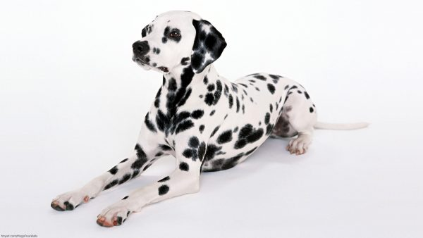 dalmatian-wallpaper-HD3-600x338