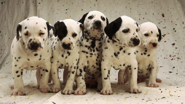 dalmatian-wallpaper-HD5-600x338