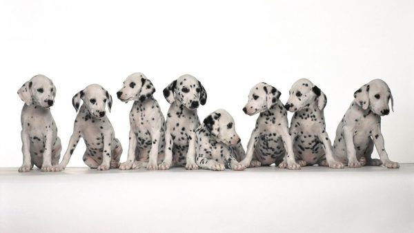 dalmatian-wallpaper-HD6-600x338
