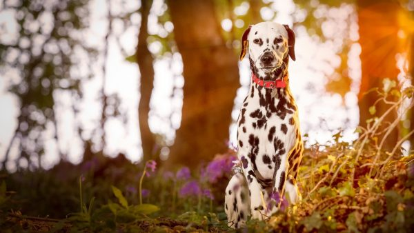 dalmatian-wallpaper-HD8-600x338