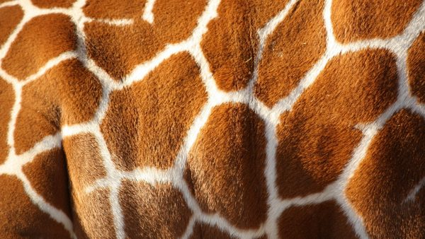 giraffe-print-wallpaper-HD6-600x338