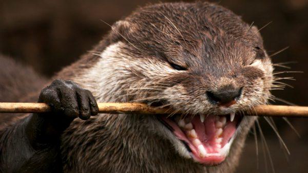 otter-wallpaper-HD5-600x338