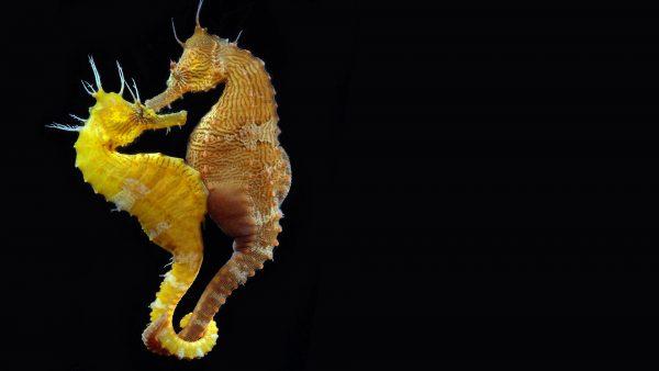 seahorse-wallpaper-HD1-600x338