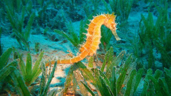 seahorse-wallpaper-HD3-600x338