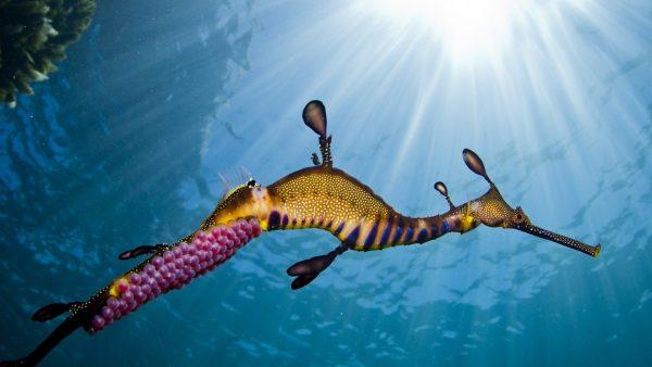 seahorse-wallpaper-HD8-600x338