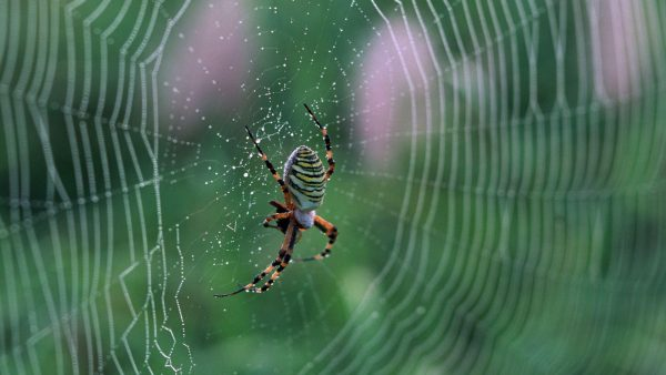 spider-web-wallpaper-HD2-600x338