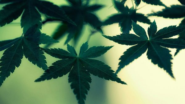 weed-wallpaper-for-iphone-HD5-600x338