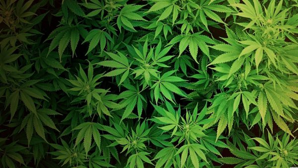 weed-wallpaper-for-iphone-HD6-600x338