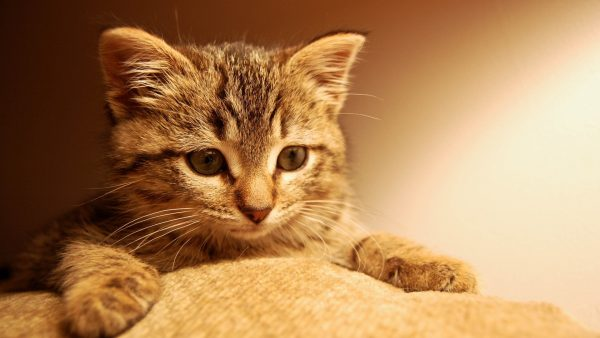 cat-wallpaper-for-walls3-600x338