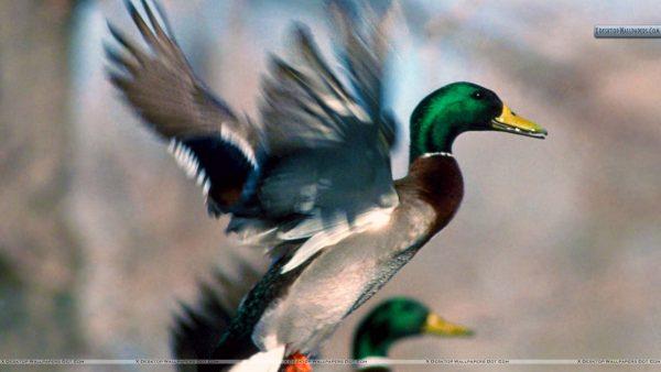ducks-wallpaper10-600x338