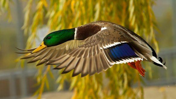 ducks-wallpaper5-600x338