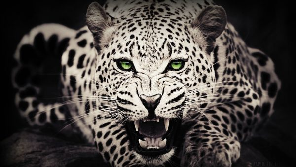 pink-cheetah-wallpaper6-600x338