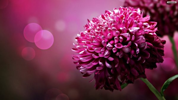 purple-flowers-wallpaper1-600x338