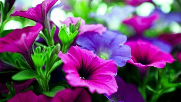 purple-flowers-wallpaper10-600x338