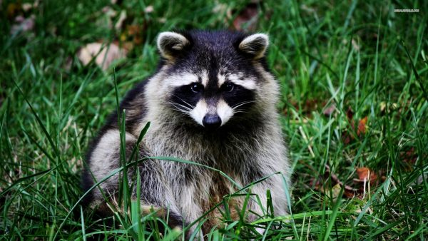 raccoon-wallpaper1-600x338