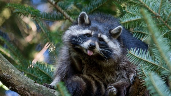 raccoon-wallpaper10-600x338