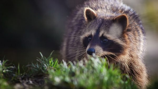 raccoon-wallpaper2-600x338