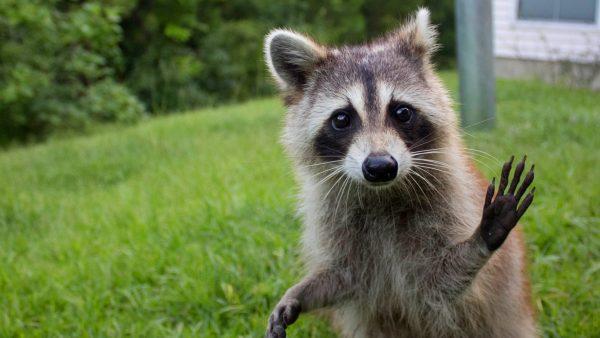 raccoon-wallpaper5-600x338