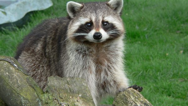 raccoon-wallpaper6-600x338