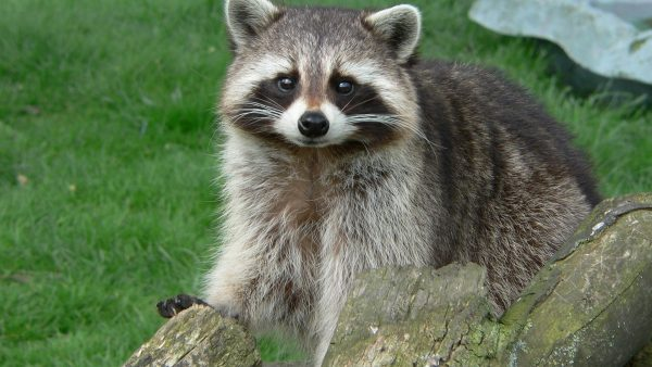 raccoon-wallpaper7-600x338
