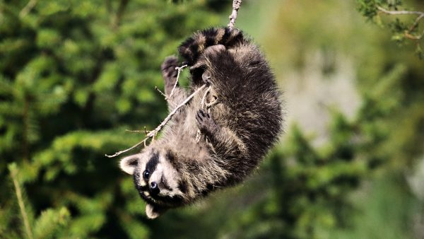 raccoon-wallpaper8-600x338