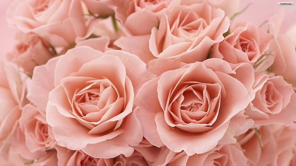 roses-wallpaper-tumblr1-600x338