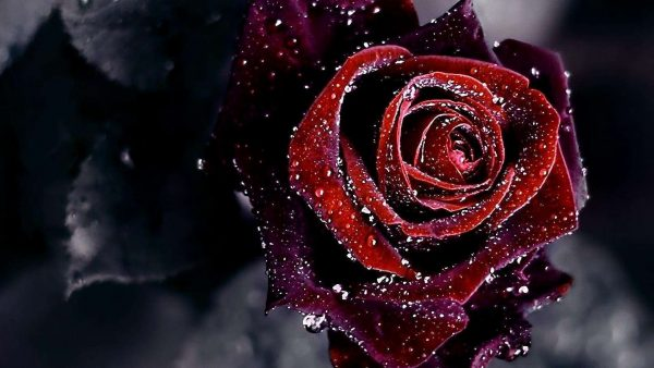roses-wallpaper-tumblr10-600x338