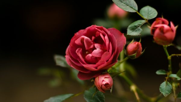 roses-wallpaper-tumblr5-600x338