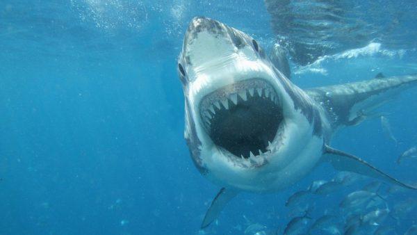 sharks-wallpaper1-600x338