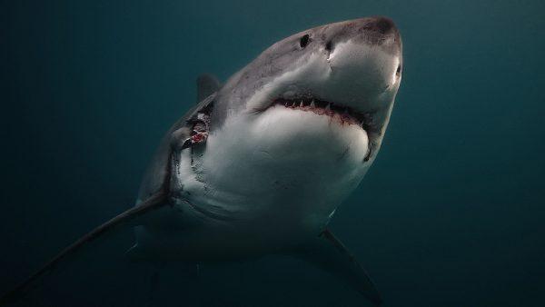 sharks-wallpaper6-600x338