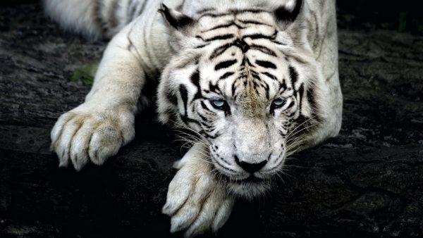 tiger-hd-wallpaper5-600x338