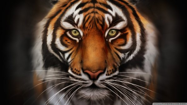 tiger-wallpaper-hd19-600x338