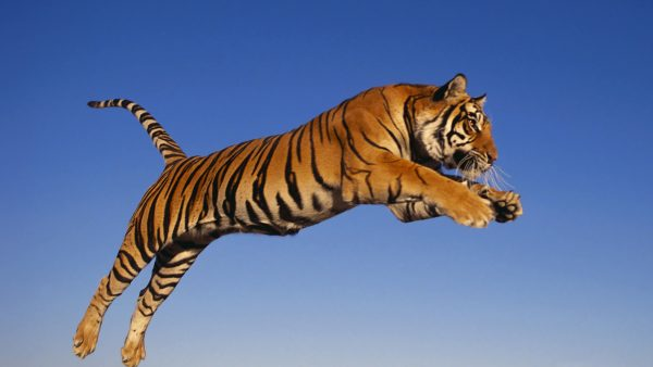 tiger-wallpaper-hd9-600x338