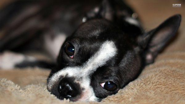 boston-terrier-wallpaper1-600x338