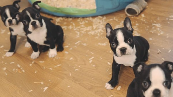 boston-terrier-wallpaper10-600x338