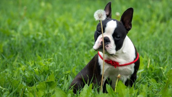 boston-terrier-wallpaper21-600x338