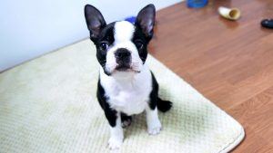 boston terrier tapet