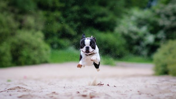 boston-terrier-wallpaper9-600x338