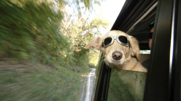 funny-dog-wallpaper4-600x338