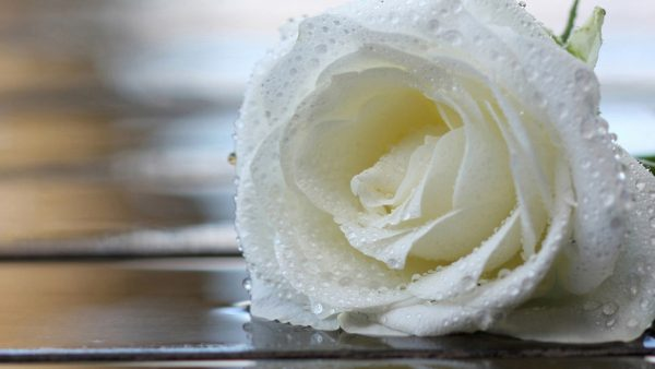 white-rose-wallpaper10-600x338